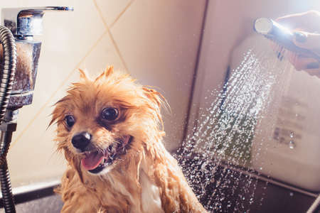 Pomeranian dog with red hair like a fox in the bathroom in the beauty salon for dogs. The concept of popularizing haircuts and caring for dogs. Cute muzzle of spitz dog in the water close