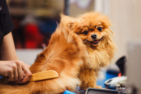 Pomeranian dog with red hair like a fox on the table for grooming. The concept of popularizing haircuts and caring for dogs. Drying of wool with a special hair dryer from the side view