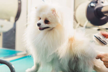 White Pomeranian dog on the table for grooming in the beauty salon for dogs. The concept of popularizing haircuts and caring for dogs. Drying of wool with a special hair dryer of spitz dog.