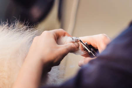 Female groomer haircut Pomeranian dog in the beauty salon for dogs. The concept of popularizing grooming haircuts and caring for dogs. claw clipping of Pomeranian spitz dog close