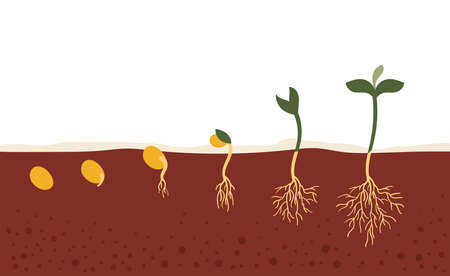 The seed in the ground.The process of growth and development.Seed germination in the soil.Stages, gardening, planting, spring, hobby, plant, tree.Flat vector illustration Çizim