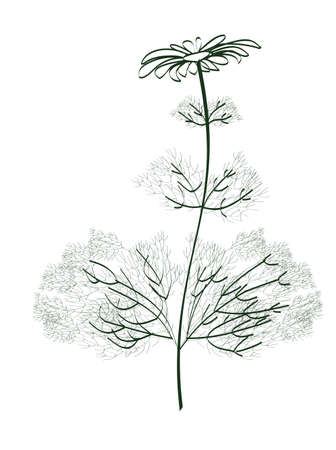 camomile: camomile Illustration