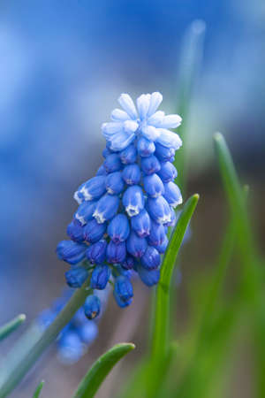 Blue buds flowers Muscari armeniacum or Grape Hyacinth. Viper bow. Muscle Hyacinth bloomed in early spring with the first warm days.