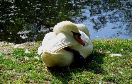 cygnet: White swan sleeping under sunlight on the banks of the pond