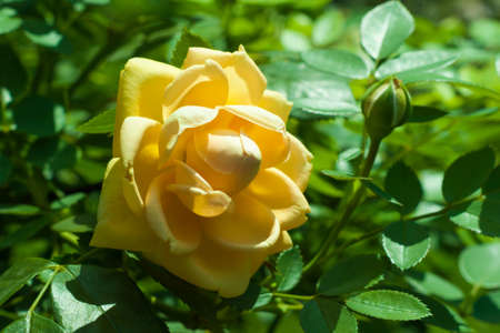 valentines day mother s: Beautiful yellow rose flower in a garden close up Stock Photo