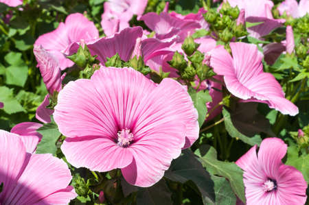 Pink mallow flowers in the garden. Lavatera trimestris blossoming closeup Stock Photo