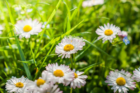 oxeye: Camomile oxeye daisy meadow background
