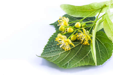 linden flowers: Linden flowers on a white background close up Stock Photo