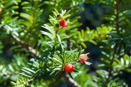 bacca: Yew tree with red fruits. Taxus baccata. Close up Stock Photo