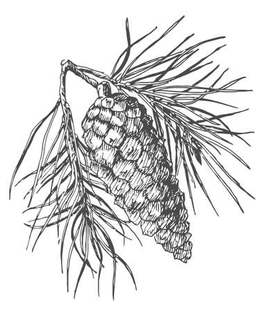 Hand drawing pine cone on the tree. Pinecone drawing on fir branch with needles. Decoration for greeting cards or holiday background. Realistic vector illustration.
