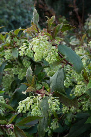 ribes: Flowering Currant Ribes Laurifolium.