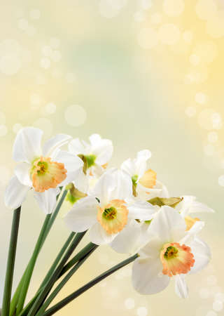Spring Daffodils photo