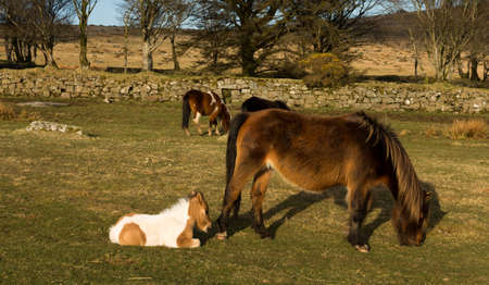 Dartmoor pony with young foal photo