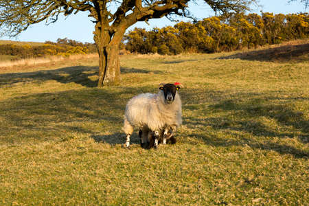 moorland: Moorland Sheep Stock Photo