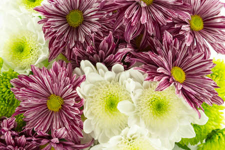 White,green and maroon stripe chrysanthemums photo