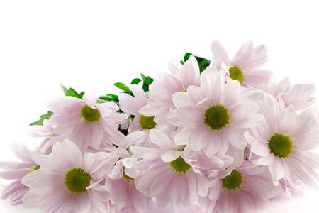 Pale pink chrysanthemums photo