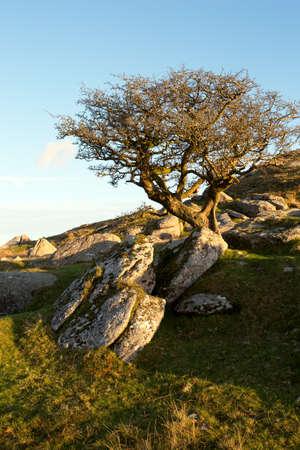 devon: Lone hawthorn Dartmoor Devon Uk