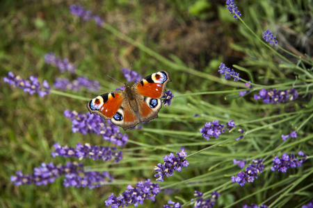 summer butterfly peacock eye on the delicate purple flowers of lavender