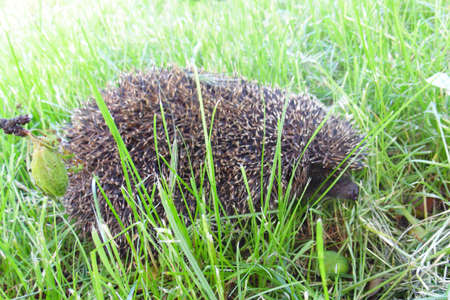hedgehog in green grass on a sunny day close-up
