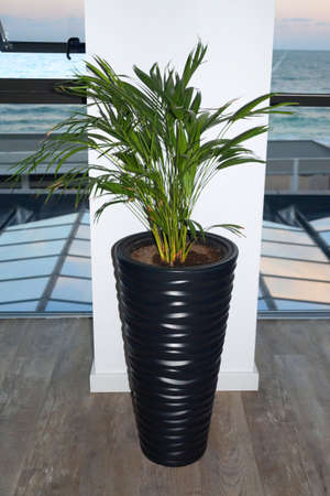 green palm tree in a black floor planter in the interior.