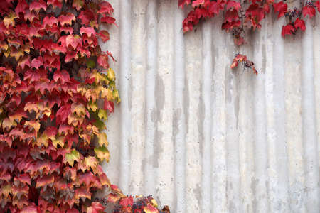 red leaves of autumn decorative grapes on gray concrete wall background, copy space. Stock Photo
