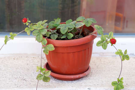decorative strawberries with berries in a pot on the window close-up