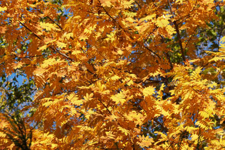 yellow autumn leaves on tree in sunlight, autumn background