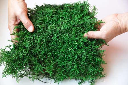 green decorative stabilized moss in female hands close-up Standard-Bild
