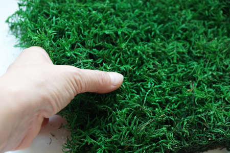 green decorative stabilized moss in female hand close-up