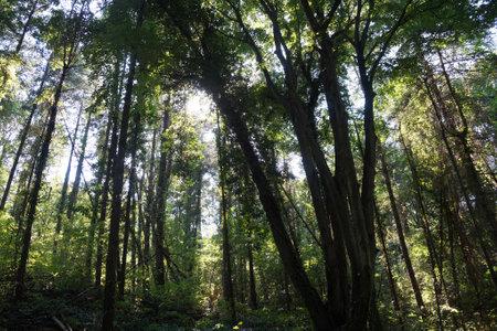 Dark rainforest with lianas. The sun's rays make their way through the trees.