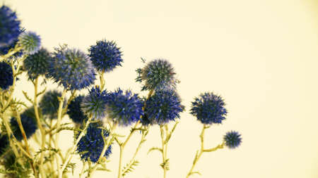 blue round flowers of thistle on light background, copy space