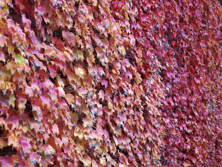 red and yellow autumn leaves of decorative grapes on concrete wall in sunlight for natural background.