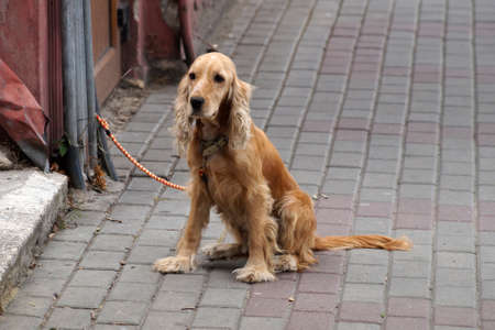 red-haired dog tied to a post near the store is waiting for the owner. Standard-Bild