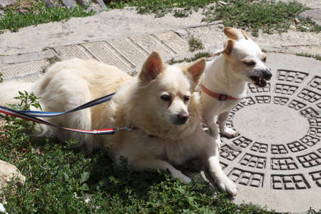 two white dogs tied to a pole on the street waiting for the owner.