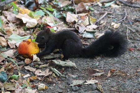 black squirrel eats a peach in an autumn park.