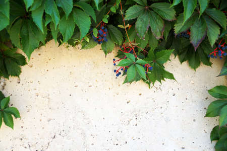 creeping wild grapes with berries on a light concrete wall, copy space, vegetable natural frame for text.