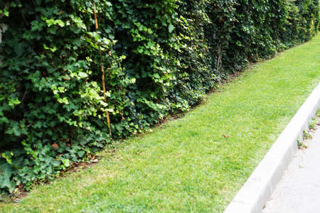 hedge from trimmed ornamental shrubs, landscape design. Standard-Bild