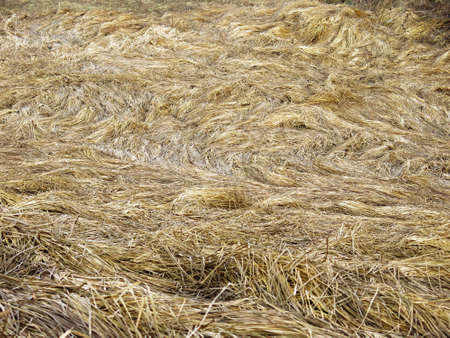 Hay or dry grass left in the field for a winter