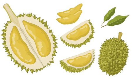 Durian set of isolated items. Vector hand drawn illustration Иллюстрация