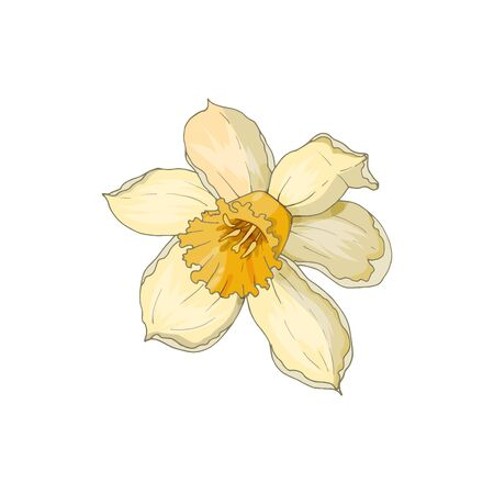 Narcissus flower isolated on white. Hand-drawn vector illustration.