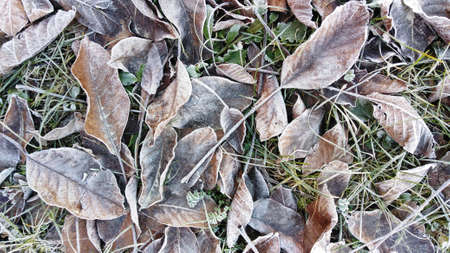 frost-covered textured dry leaves lying on still green grass, natural decorative backdrop in creamy brown tones with a touch of silver and gold, magic and beauty of nature changing seasons