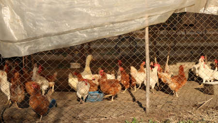 poultry house behind a mesh fence under a polyethylene roof with walking chickens, roosters, geese and ducks, a farm pen with outdoor poultry, a fragment of village rural life