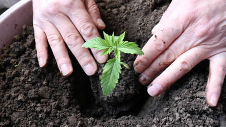 transplanting the plant with an increase in the root system into a larger container with fertilized soil, dropping the hemp sprout into the ground with your hands, tamping the roots into the ground