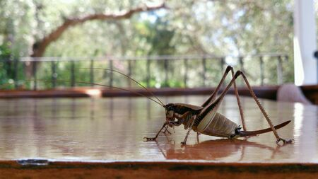 closeup: Big brown grasshopper close-up on a table with reflection