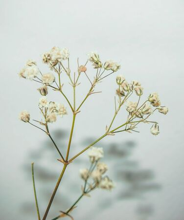 sprig: sprig of gypsophila on white background with shadow