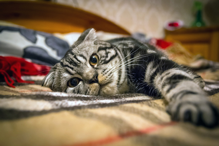 Striped gray Scottish Fold cat lying on the bed in the plaid Stock Photo