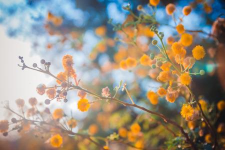 日没時間クローズ アップ浅い被写し界深度に咲くミモザの木