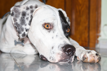 Lying English pointer mix phenotype white dog in black dots with a small scratch on the eyelid and a scar from a fallen papilloma on the muzzle close-up shallow depth of field