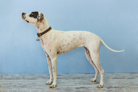 English pointer mix phenotype white dog in black dots with a black leather collar with medallion in form of bone and small yellow collar standing on a wooden floor on a blue background close-up shallow depth of field