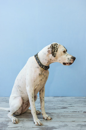 English pointer mix phenotype white dog in black dots with a black leather collar with medallion in form of bone and small yellow collar sits on a wooden floor on a blue background close-up shallow depth of field